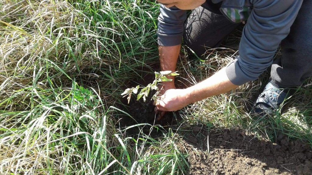 Mieszkaniec z sołectwa Czachów sadzi drzewko.